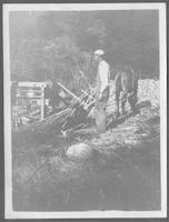 Hauling cane to the mill on a sled