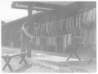 Young woman hanging dyed thread to dry.