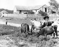Cattle at Niles Homestead