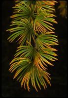 Pseudolarix amabilis, 0857