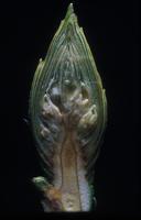 Rhododendron, species indeterminate, 0861