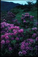 Rhododendron catawbiense, 0862