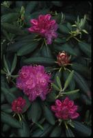 Rhododendron catawbiense, 0866