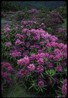 Rhododendron catawbiense, 1045