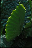 Alocasia, species indeterminate, 0117