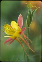 Aquilegia, species indeterminate, 0124