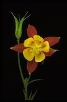 Aquilegia, species indeterminate, 0126