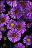 Aster, species indeterminate, 0133