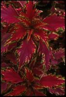 Coleus, species indeterminate, 0206