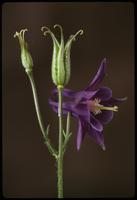 Aquilegia, species indeterminate, 0352