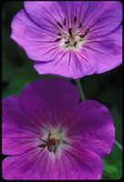 Geranium, species indeterminate, 0371