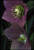 Helleborus, species indeterminate, 0410