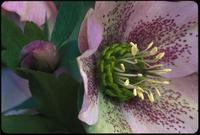 Helleborus, species indeterminate, 0413