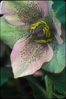 Helleborus, species indeterminate, 0414