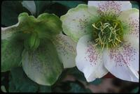 Helleborus, species indeterminate, 0415