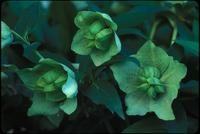 Helleborus, species indeterminate, 0416