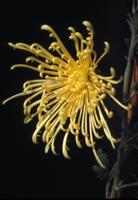 Chrysanthemum, species indeterminate, 0755
