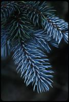 Picea pungens, 0797