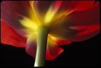 Tulip, no. 1007
