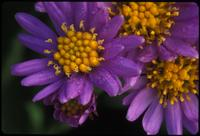 Aster, species indeterminate, 0137