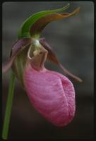 Cypripedium acaule, 0241