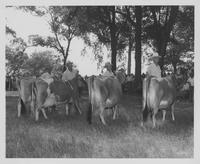 Unidentified men standing with cows