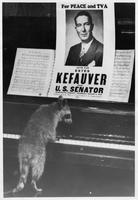 raccoon appears to play piano below Kefauver campaign poster