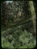 Slide 19, Mountain Ferns, (New Number = 80)
