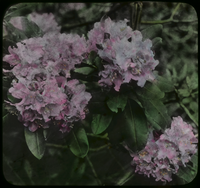 Rhododendron Catawba