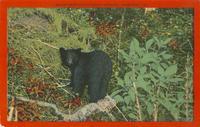 Black Bear Cub in Great Smokies, Tennessee (82)