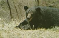Native Black Bear, Great Smoky Mountains National Park (GS-121)