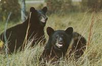 Native Black Bears, Great Smoky Mountains National Park (GS-96)