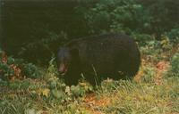 Native Black Bear, Great Smoky Mountains National Park (GS-100)