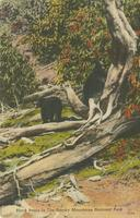 Black Bears in the Smoky Mountains National Park