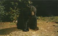 Native Black Bear, Great Smoky Mountains National Park (GS-98)