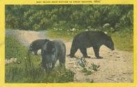 Black Bear Natives in Great Smokies, Tenn. (566)