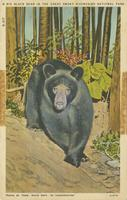A Big Black Bear in the Great Smoky Mountains National Park (N-417)