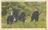 Black Bears, Great Smoky Mountains National Park