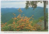 Flame Azalea in Full Bloom at Mile High Overlook - Great Smoky Mountains National Park (GS-332)