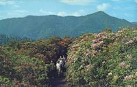 Rhododendron in Bloom along the Alum Cave Trail to Mt. LeConte - Great Smoky Mountains National Park (GS-322)