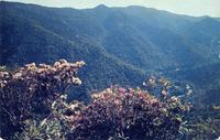 Laurel and Rhododendron in Bloom on the Chimney Tops - Great Smoky Mountains National Park (GS-113)