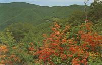 Flame Azalea in Full Bloom at Mile High Overlook - Great Smoky Mountains National Park (GS-331)