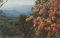 Flame Azaleas at Mile High Overlook Great Smoky Mountains, N. Carolina