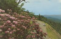 Rhododendron in Full Bloom - Great Smoky Mountains National Park (GS-325)