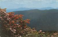 Mountain Laurel and Flame Azalea in full bloom in the Southern Appalachian Mountains