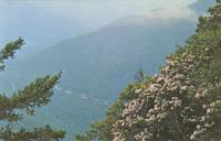 Mountain Laurel in Bloom on the Chimney Tops - Great Smoky Mountains National Park (GS-329)