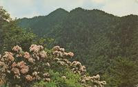 Mountain Laurel in Full Bloom in the Great Smoky Mountains National Park (GS-328)