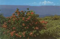 Flame Azalea in Bloom on Gregory Bald - Great Smoky Mountains National Park (GS-295)