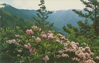 Mountain Laurel and Rhododendron on the Alum Cave Bluff Trail - Great Smoky Mountain National Park (GS-381)