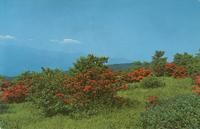 Georgeous Flame Azalea in Full Bloom atop Gregory Bald in the Great Smoky Mountains National Park (GS-392)